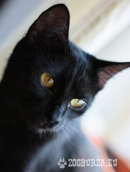 Ročná čierna mačka