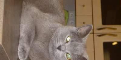 Stratila sa Britská modrá mačka