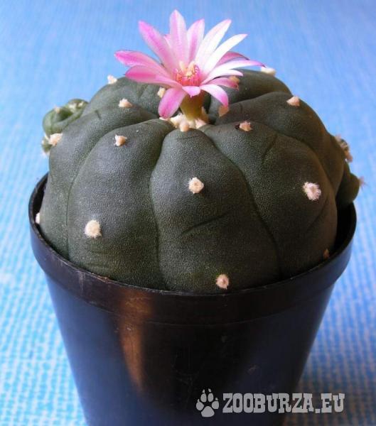 Lofofora (Peyotl - kaktus)