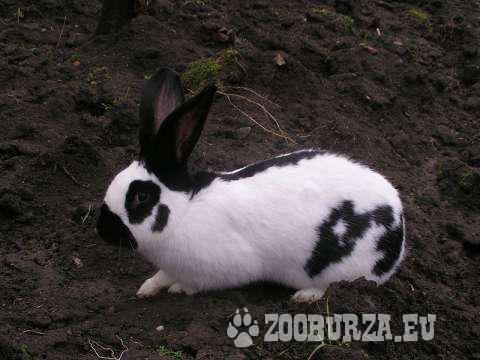 Malé zajace, krížence NOS