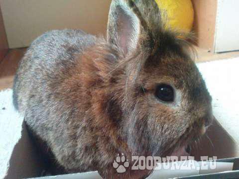 Zakrslý králiček plemeno Levík