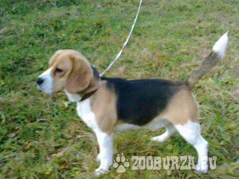 Beagle na pripustenie