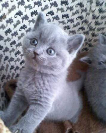 Britská modrá koťátka