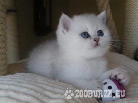 Britská koťata - kocourci s PP
