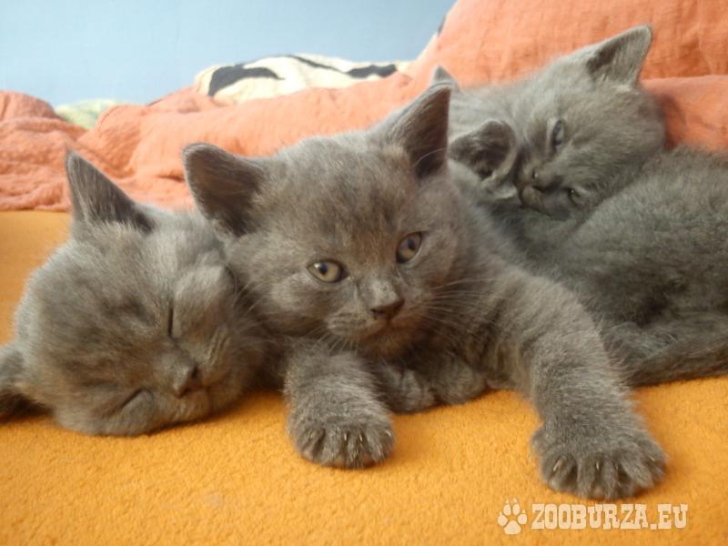 Britská modrá kočička