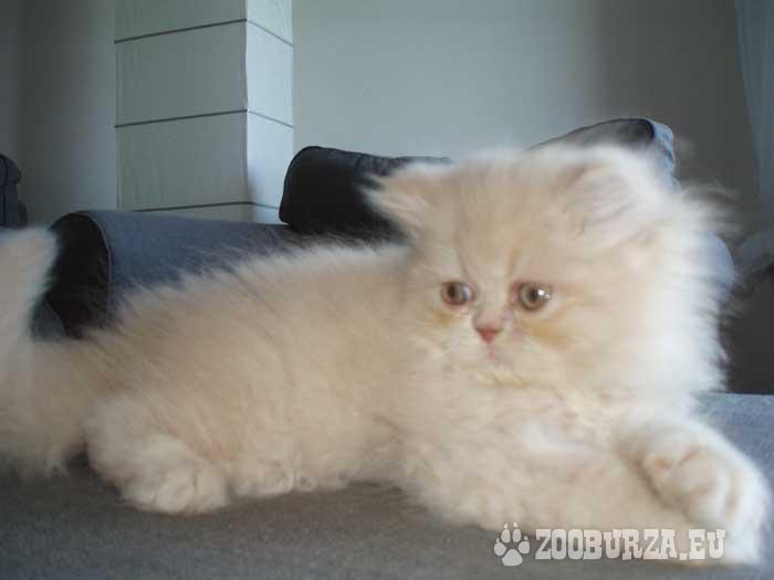 Krásná perská koťátka