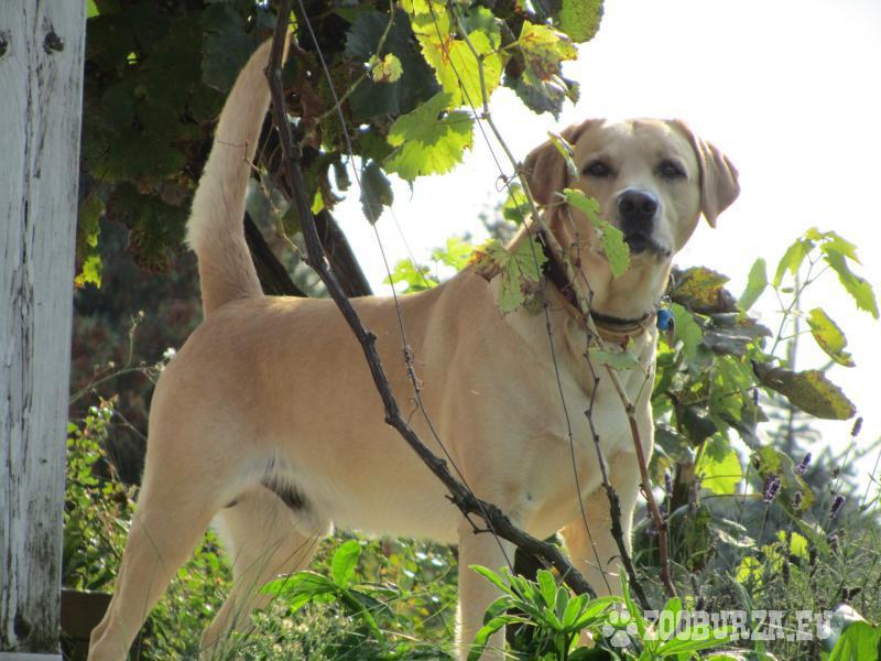 Labrador na krytie