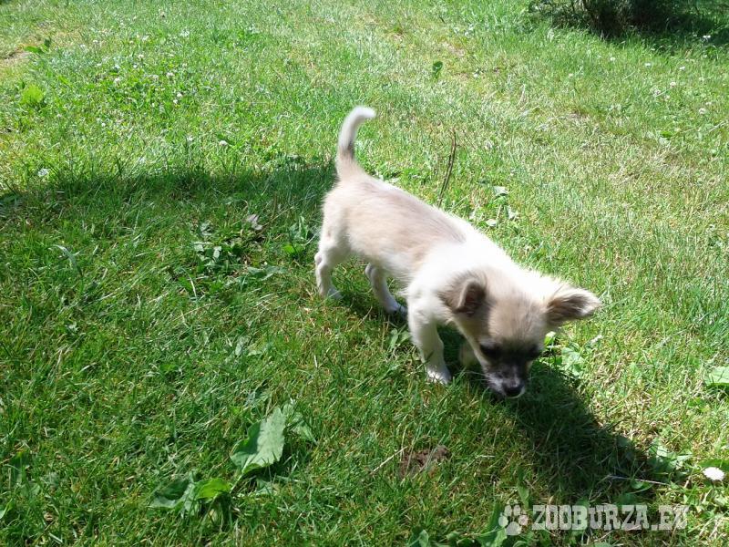 Čivava - hravý psík