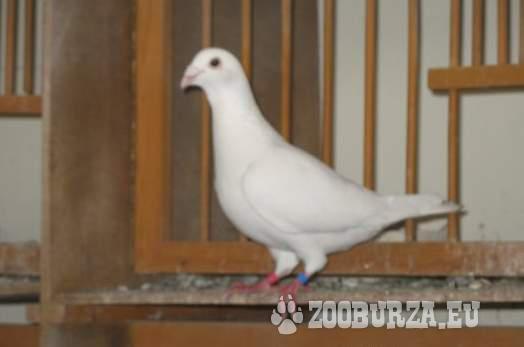Biele poštové holuby