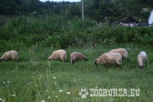 Ovce - cigáje
