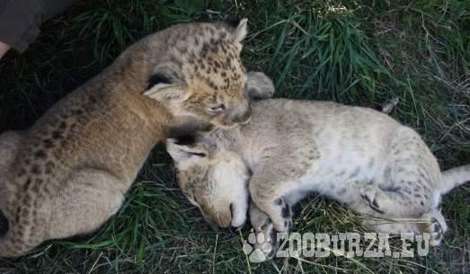6 týž. mláďatá leva