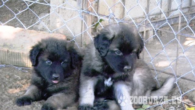 Estrelský pastiersky pes, Portugalský Leonberger