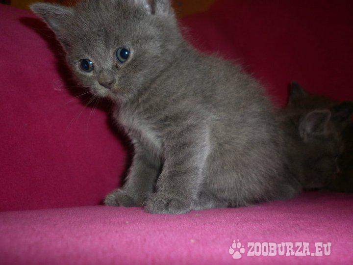 Britska modre mačiatka - Predaj 9bbf728066a
