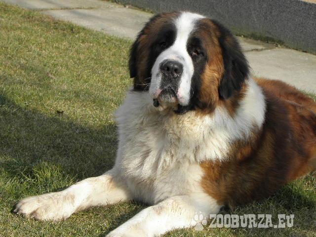 Moskovský strážny pes s PP