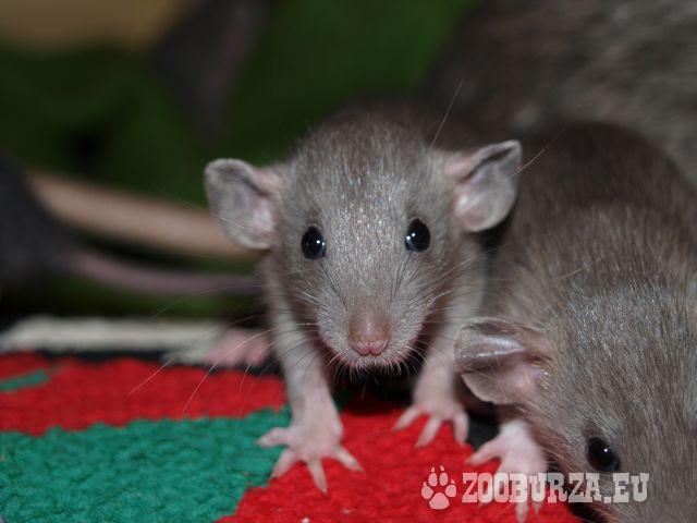 Potkaníky