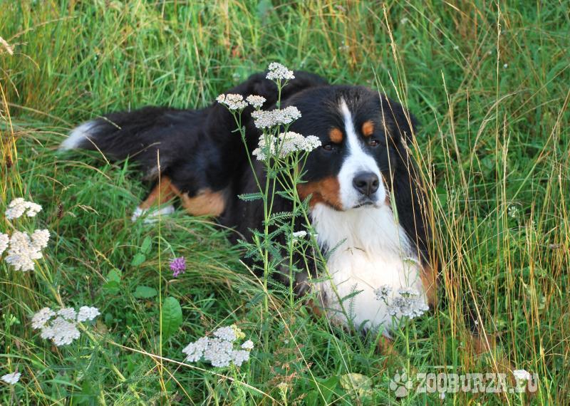 Bernský salašnícky pes na krytie