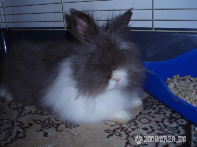 Samček teddy králika