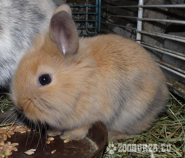 Zakrslé zajačiky