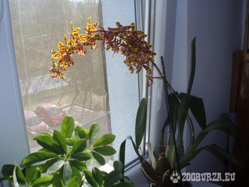 Izbové kvety Auracaria