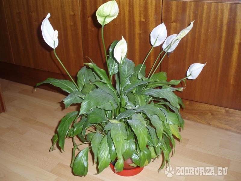 Izbový kvet Lopatkovec