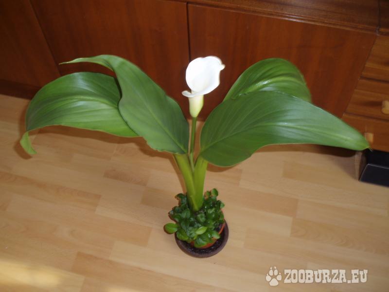 Izbový kvet Kala