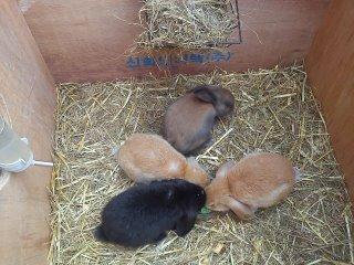 Zakrslý králik baran, divo sfarbené mláďatká