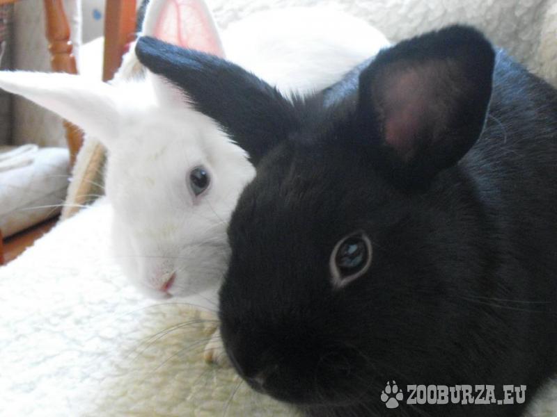 Čierny zajko, asi 1 ročný