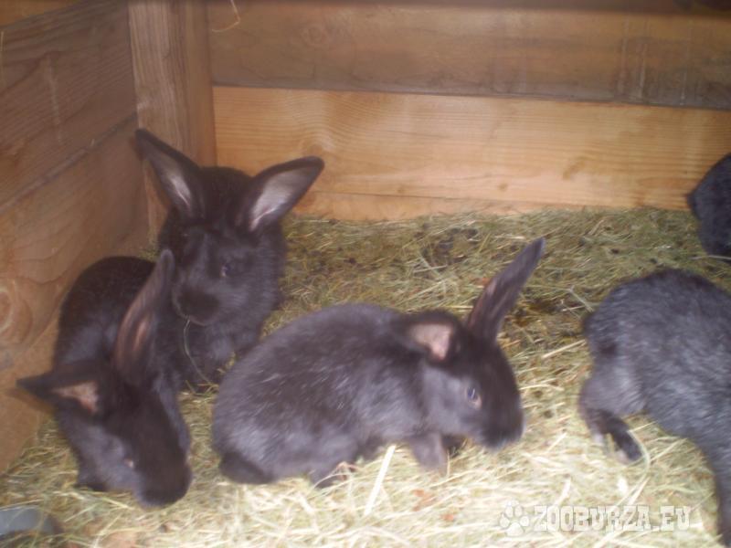 Zajace, Francuzske striebornaky