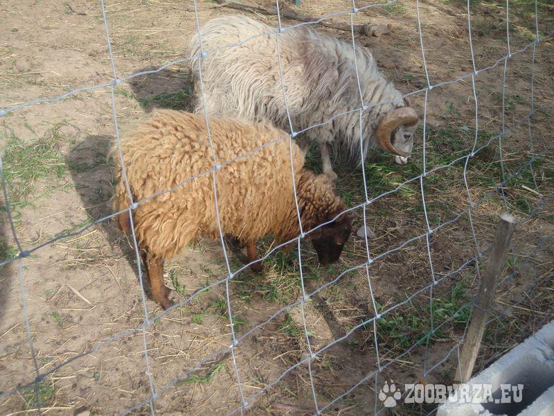 Quessantské ovečky