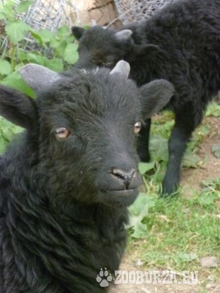 Ouessantské (Quessant) ovce