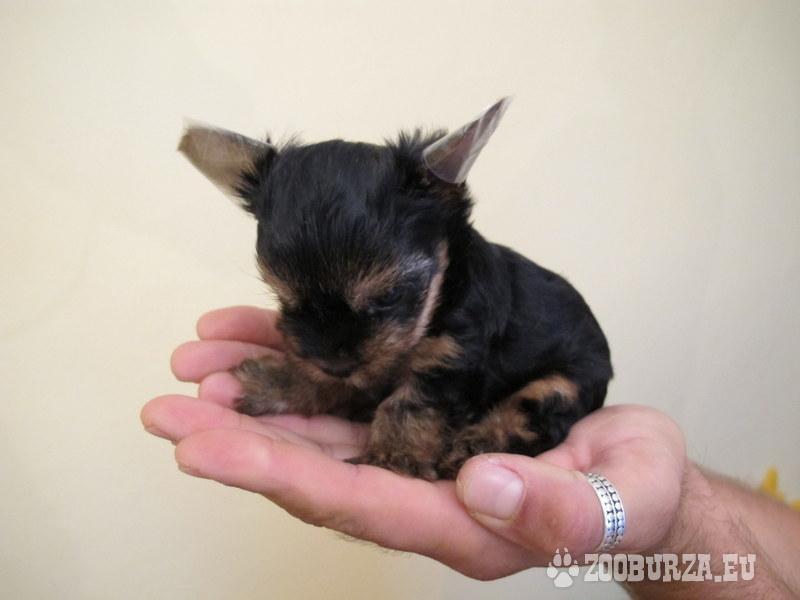 Yorkshire terier mini šteniatko - psík - Predaj 5692672c896