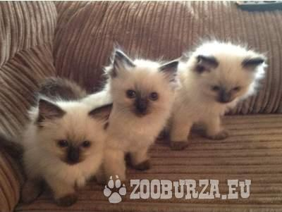 Ragdoll Kittens - Sale