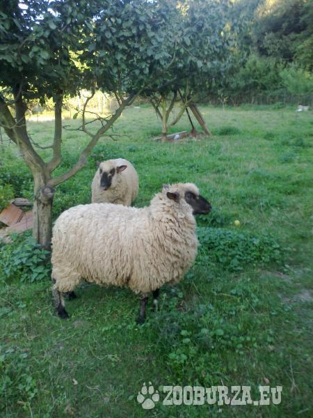Ovce, 2 cigaje