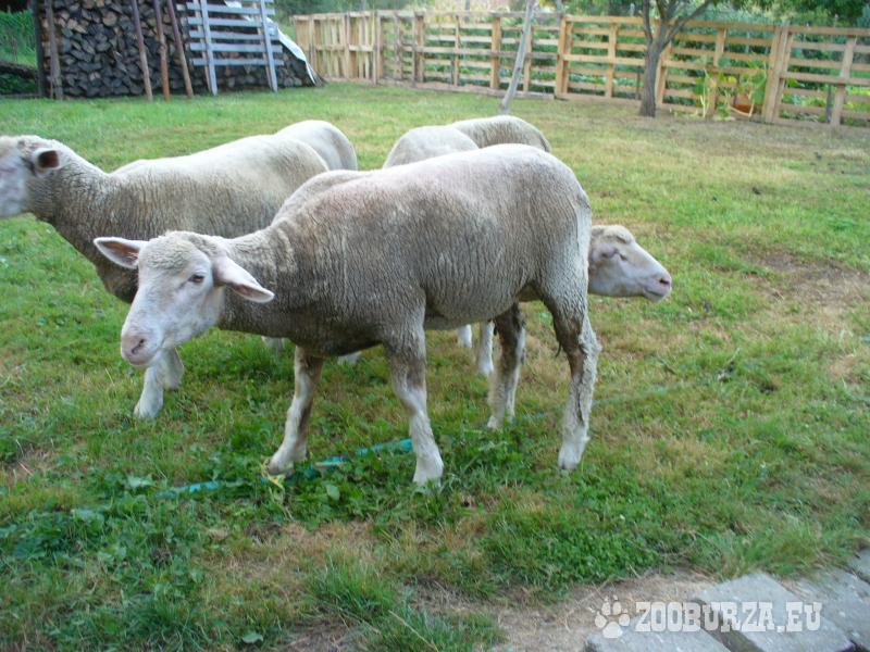 7 mesačné ovce