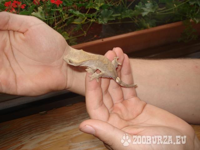 Rhacodactylus ciliatus - pagekon riasnaty