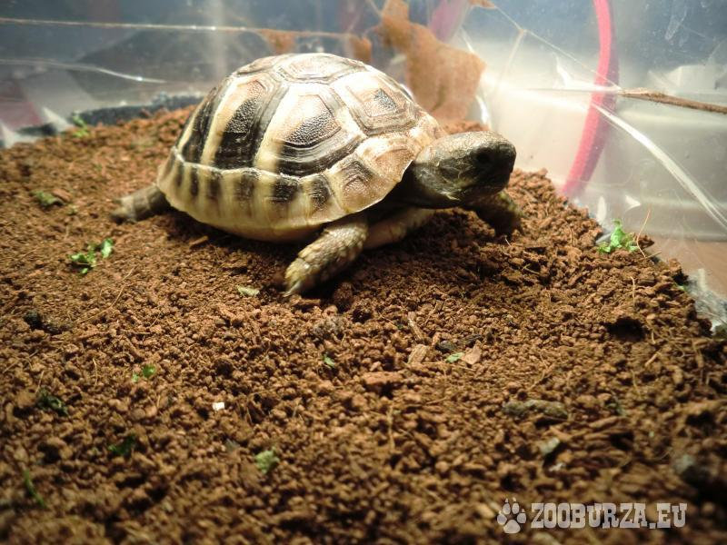 Suchozemska korytnačka