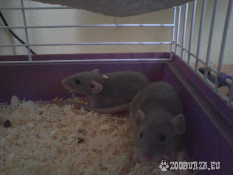 2 samčekovia potkaníkov s príslušenstvom