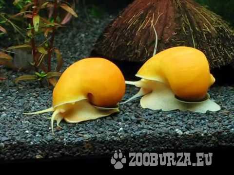 Ampularia slimáky