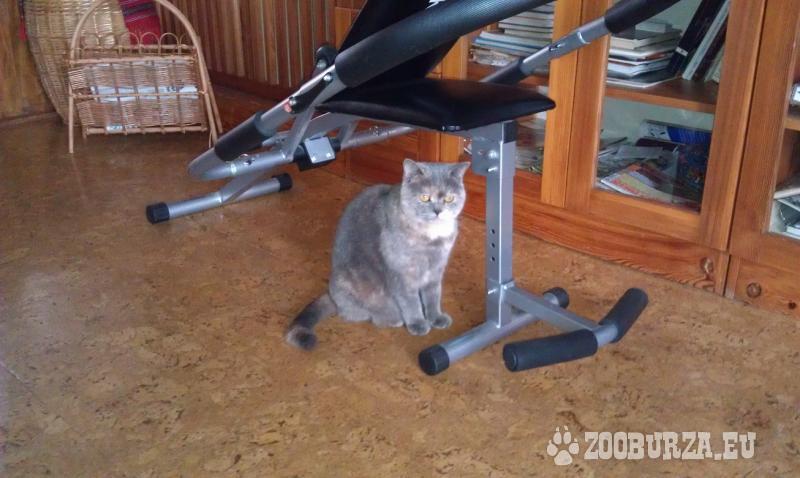 Britská krátkosrstá mačka s PP