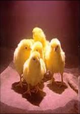Jednodňové kurčatá, vysoká kvalita