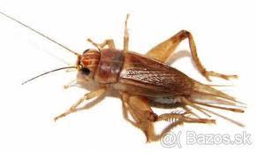 Živá potrava - hmyz