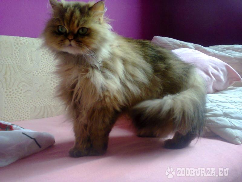 Perská mačka