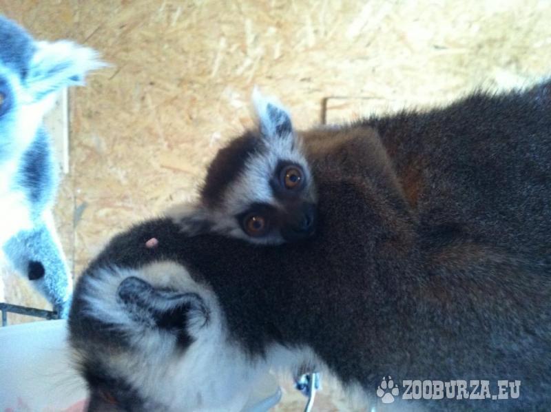 Opičky  Lemur Catta