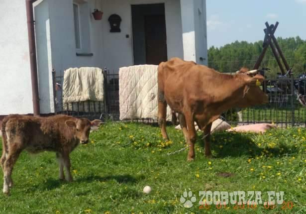 Krowa limouse z cielakiem byczkiem