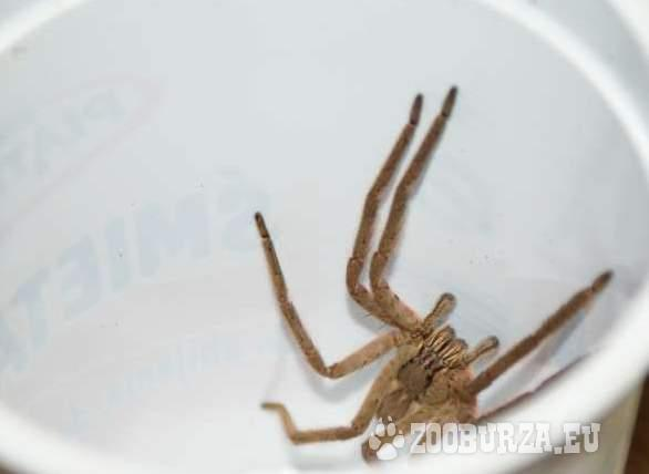 C. salei okazja super pająk