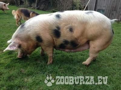 duroc schwein rezept niedrigtemperatur