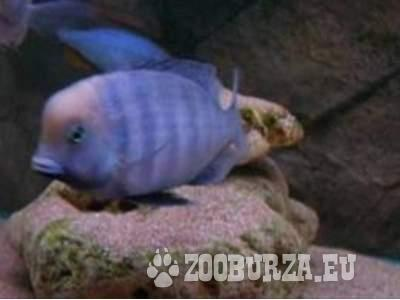 Malawi cichlids - Sale