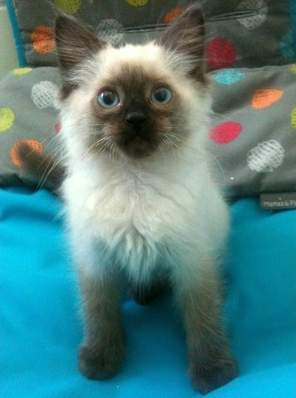 Beautiful Blue Eyed Pedigree Ragdoll Kittens
