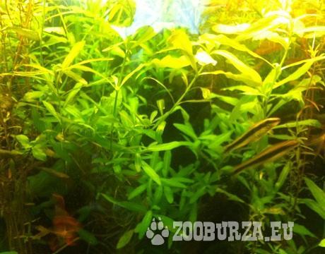 akvarijné rastliny