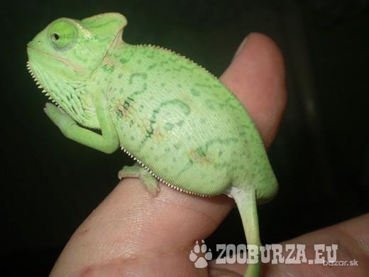 chameleóny jemenské